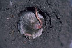 Mole Patrol LLC Tonganoxie 1